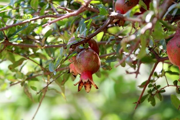나무에 매달려 있는 석류 열매의 클로즈업 보기