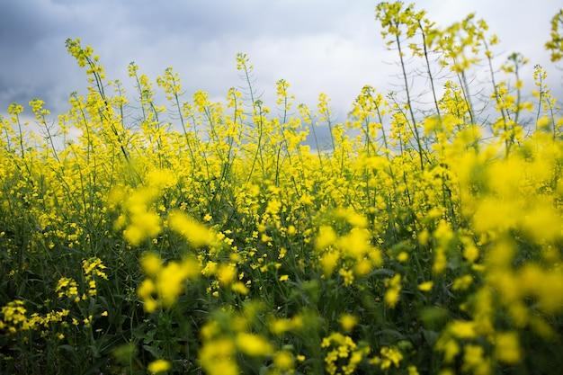 흐린 하늘과 비오는 날에 유채 꽃 필드의보기를 닫습니다. 자연 배경.