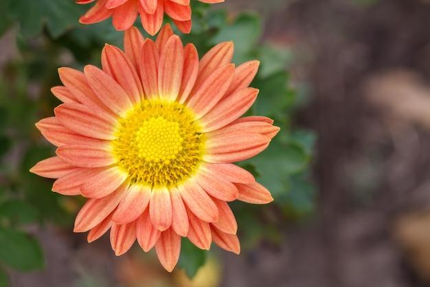 햇빛 아래 정원에서 자라는 빨간색과 노란색 꽃의 클로즈업 보기. 평면도. 필드의 얕은 깊이.