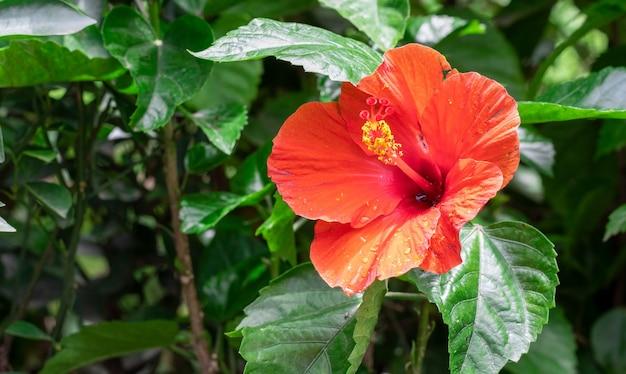 木の庭に赤いハイビスカスローザシネンシスまたはジョバの花のクローズアップビュー