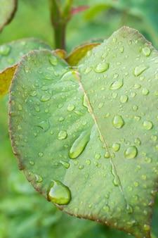 晴れた夏の日の茂みに水滴とバラの葉の拡大図。
