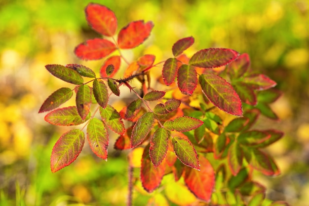Крупным планом вид куста шиповника, оранжевые и желтые листья куста. красивый осенний разноцветный натюрморт, фон
