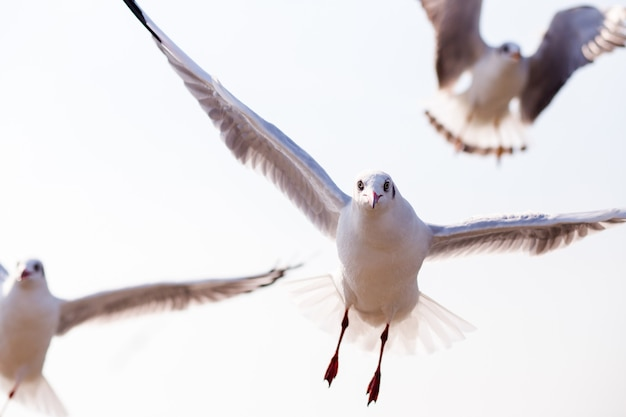 Закройте вверх по взгляду летания птицы чайки на природе на bangpoo, samut prakan таиланде.