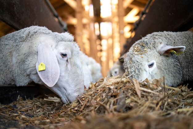 가축 농장에서 자동 컨베이어 벨트 피더에서 음식을 먹는 양 가축의 뷰를 닫습니다.