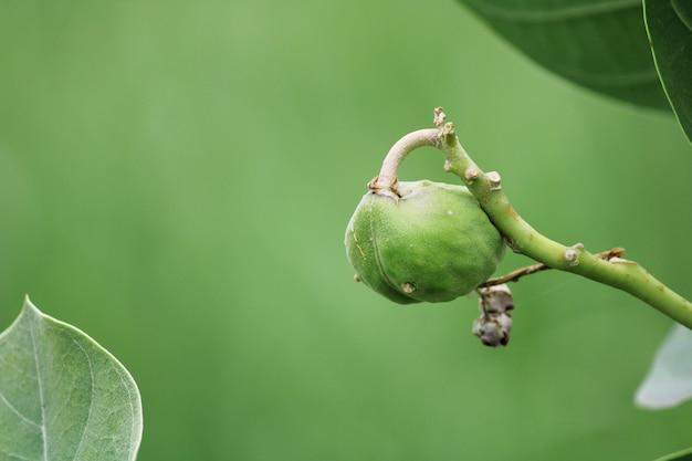 Крупным планом - плод содомского яблока. завод арка.