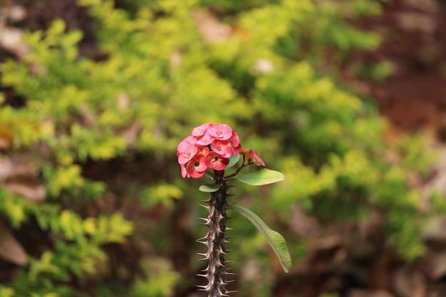 いばらの冠の花のクローズアップビュー。