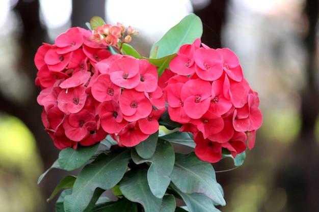 いばらの冠の花のクローズアップビュー