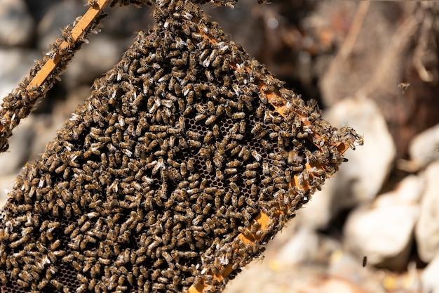 Крупным планом вид открытого корпуса улья, показывающий рамки, населенные медоносными пчелами. медоносные пчелы ползают в открытом улье по деревянным сотам, работая в команде. концепция пчеловодства в сельском хозяйстве.