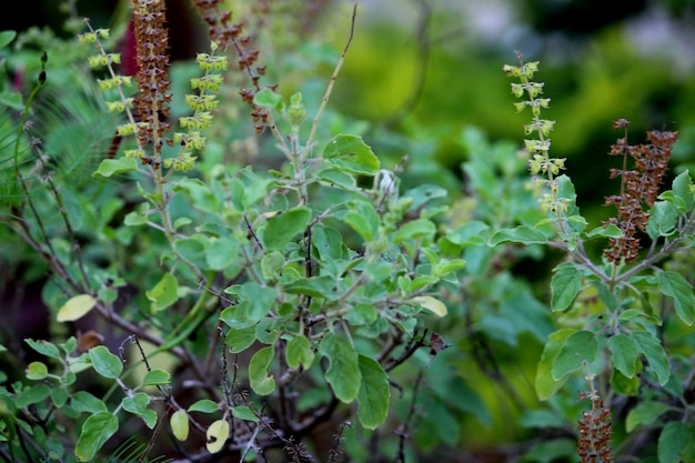 Крупным планом вид на листья туласи.