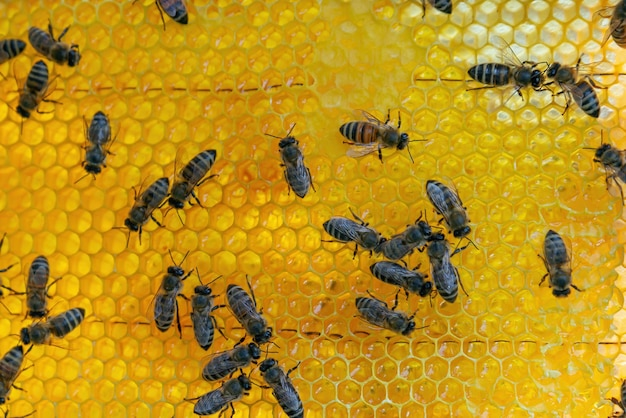 Крупным планом вид работающих пчел на медовых ячейках. трудолюбивые пчелы на сотах на пасеке.