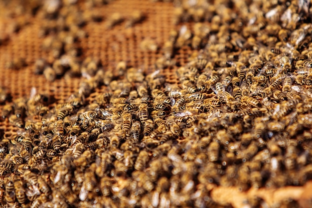 Крупным планом вид работающих пчел на медовых ячейках. рабочие пчелы на сотах. пчелы на сотах