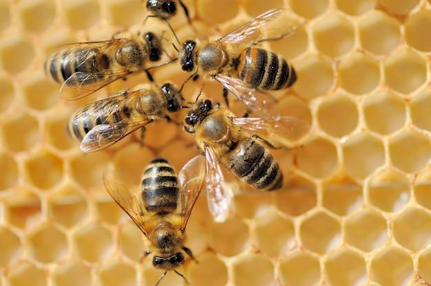 ハニーセルで働くミツバチのクローズアップビュー