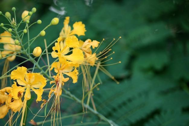 Крупным планом вид желтых цветов павлина.