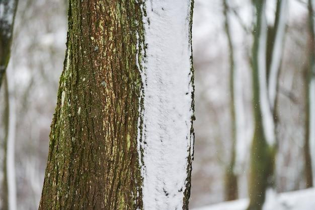 Крупным планом вид стволов деревьев, покрытых свежим снегом. зимний лесной пейзаж, копия пространства.