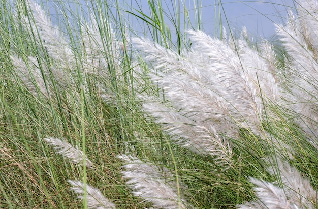 흐린 하늘 아래 흰 꽃이 있는 야생 스티파 깃털 풀의 클로즈업