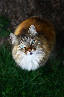 Крупным планом вид на пушистую голубоглазую кошку.