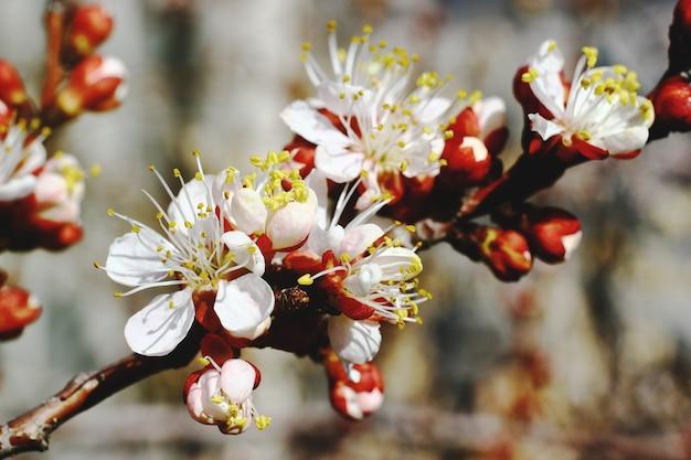 背景がぼやけている桜のクローズアップビュー。