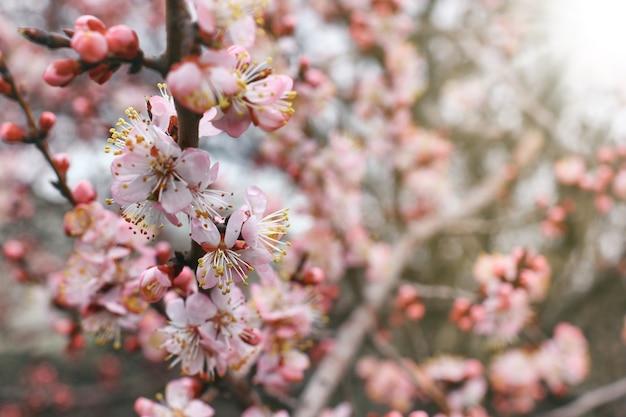 ぼやけた太陽光線の背景に花と桜の枝のビューを閉じます。
