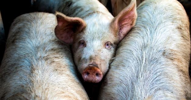 Крупным планом вид на свинью