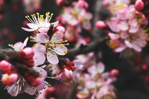 ぼやけた背景に黄色の花粉とピンクの春の花のビューを閉じます。