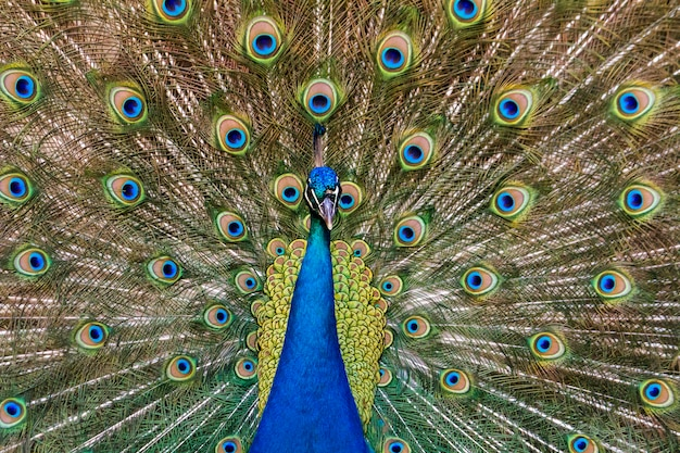 Close up view of the peacock bird showing off his beautiful feathers.