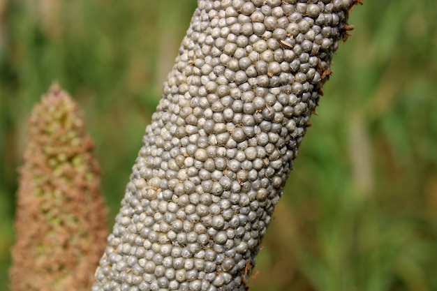 Close-up view of the pearl millet head.