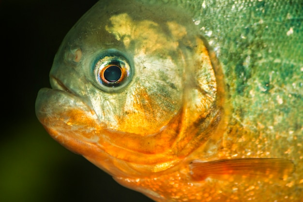 Close up view of a red bellied piranha fish on a tank.