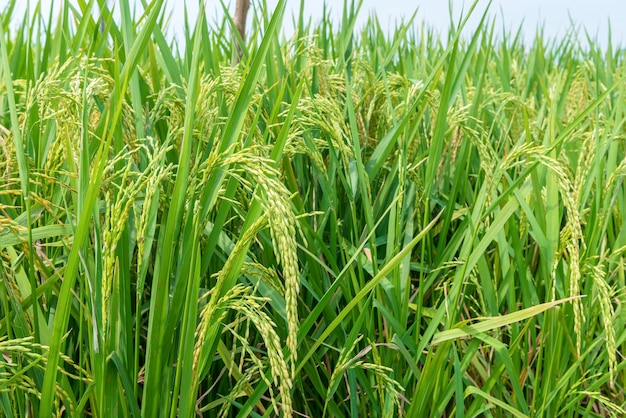 Close up view of rice plants on the rice field