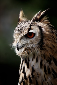 Close up view of rock eagle-owl on profile.
