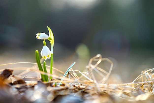 Close up view of small fresh snowdrops flowers growing among dry leaves in forest