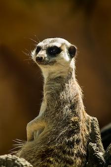 Close up view of a small meerkat or suricate (suricata suricatta) on the dirt.