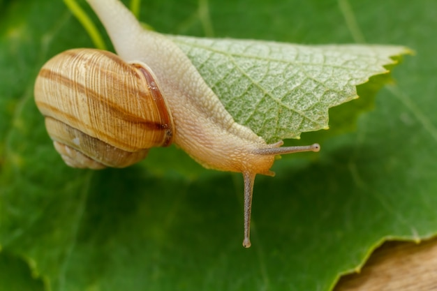 Close-up view of the snail on a green leaf. shallow depth of field. focus on a head of the snail.