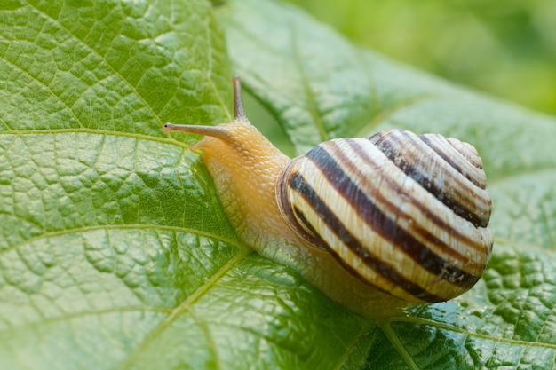 Close-up view of the snail with a shell on a green leaf of grape. focus on a head of the snail.