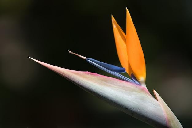 Close up view of strelizia reginae