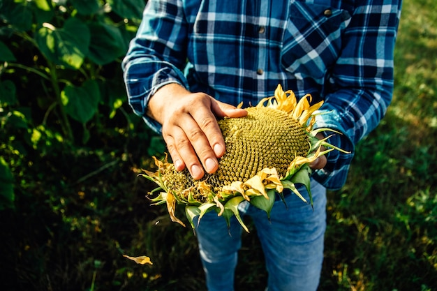 Close up view of a sunflower farmers hands the farmer examines the quality of the sunflower crop