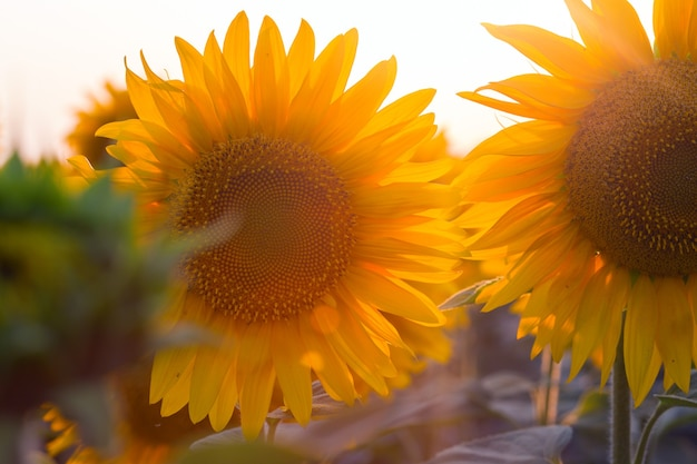 Close up view of sunflower flowers at the evening field