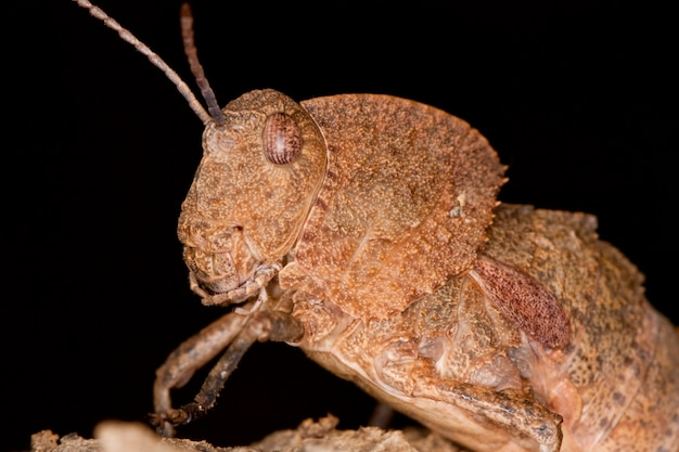 Close up view of a toad grasshopper on a piece of wood.