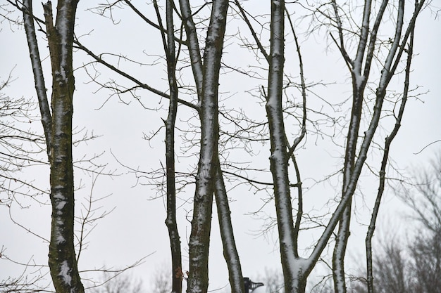Close up view of tree trunks covered with fresh snow
