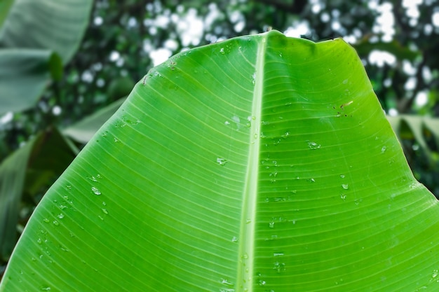 Close up view of wet banana leaf in the forest with soft bokeh background