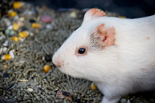 Close up view of a white hamster surrounded by food grains.
