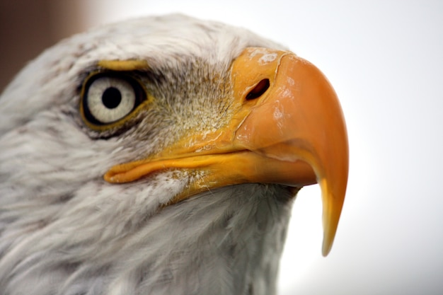 Close up view of the white head of an american bald eagle.