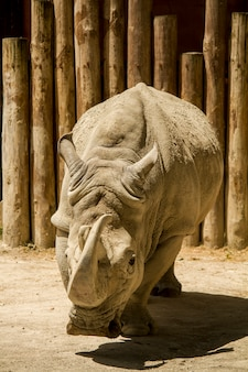 Close up view of a white rhinoceros or square-lipped rhinoceros (ceratotherium simum) on a zoo.
