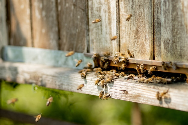 A close-up view of the working bees bringing flower pollen to the hive on its paws. honey is a beekeeping product. bee honey is collected in beautiful yellow honeycombs.