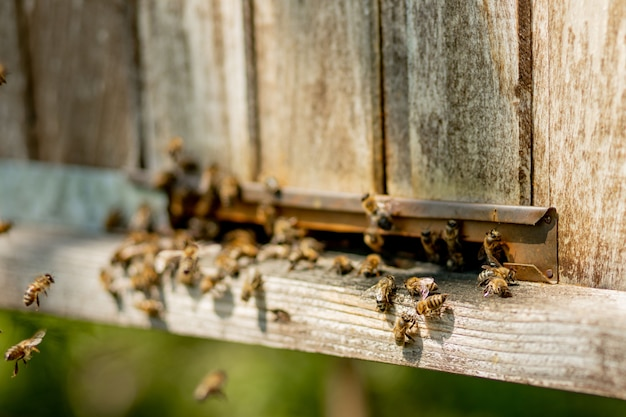 Close-up view of the working bees bringing flower pollen to the hive on its paws. honey is a beekeeping product. bee honey is collected in beautiful yellow honeycombs.