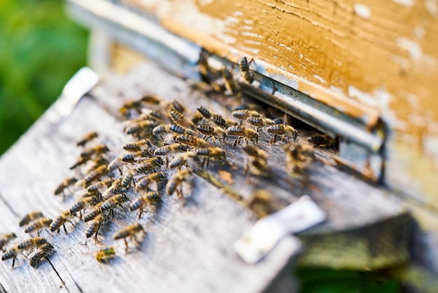 Close up view of the working bees on the honeycomb with sweet honey. honey is beekeeping healthy produce.