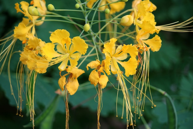 Close-up view of the yellow peacock flowers.