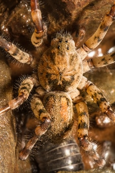 Close up view of a zoropsis spinimana spider.