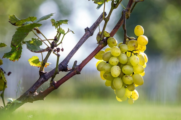 Close-up of vine branch with green leaves and isolated golden yellow ripe grape cluster lit by bright sun