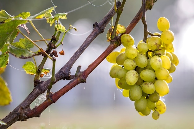 Close-up of vine branch with green leaves and isolated golden yellow ripe grape cluster lit by bright sun.