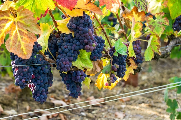 Close up vine grape in champagne vineyards at montagne de reims, reims, france